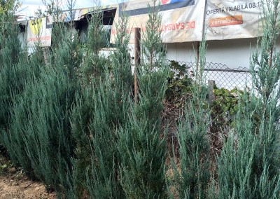 Juniperus Sky Rocket