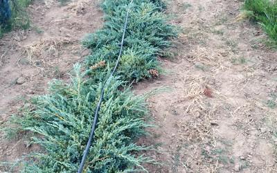 Juniperus sp. 2