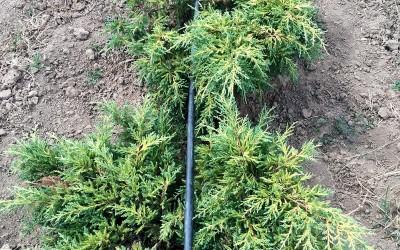 Juniperus sp. 3