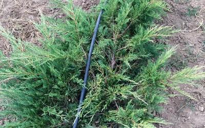 Juniperus sp. 4